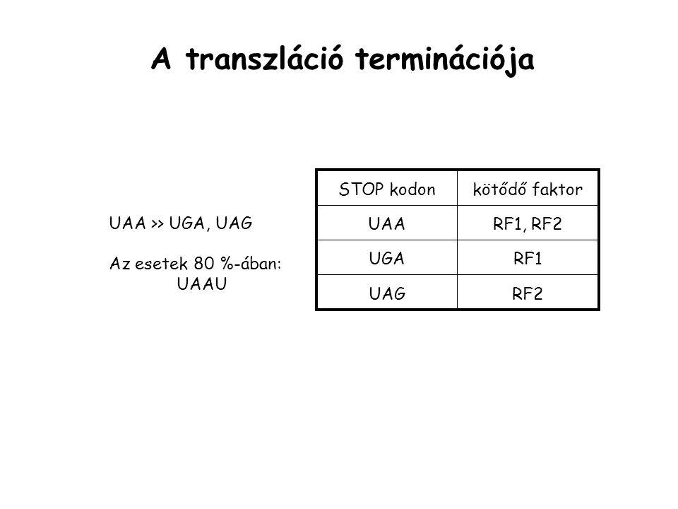 A transzláció terminációja STOP kodon UAA UGA UAG kötődő faktor RF1, RF2 RF1 RF2 UAA >> UGA, UAG Az esetek 80 %-ában: UAAU