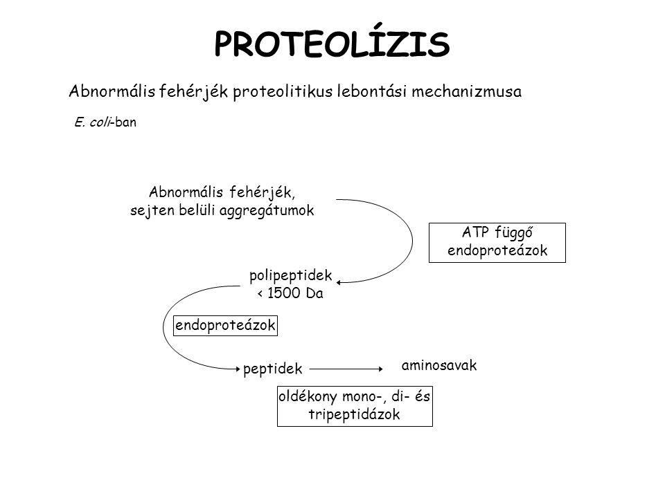 PROTEOLÍZIS Abnormális fehérjék proteolitikus lebontási mechanizmusa E.