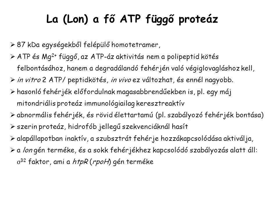 La (Lon) a fő ATP függő proteáz  87 kDa egységekből felépülő homotetramer,  ATP és Mg 2+ függő, az ATP-áz aktivitás nem a polipeptid kötés felbontásához, hanem a degradálandó fehérjén való végiglovagláshoz kell,  in vitro 2 ATP/ peptidkötés, in vivo ez változhat, és ennél nagyobb.