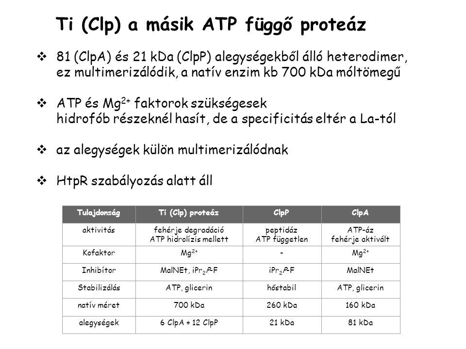 Ti (Clp) a másik ATP függő proteáz  81 (ClpA) és 21 kDa (ClpP) alegységekből álló heterodimer, ez multimerizálódik, a natív enzim kb 700 kDa móltömegű  ATP és Mg 2+ faktorok szükségesek hidrofób részeknél hasít, de a specificitás eltér a La-tól  az alegységek külön multimerizálódnak  HtpR szabályozás alatt áll TulajdonságTi (Clp) proteázClpPClpA aktivitásfehérje degradáció ATP hidrolízis mellett peptidáz ATP független ATP-áz fehérje aktivált KofaktorMg 2+ - InhibítorMalNEt, iPr 2 P-FiPr 2 P-FMalNEt StabilizálásATP, glicerinhőstabilATP, glicerin natív méret700 kDa260 kDa160 kDa alegységek6 ClpA + 12 ClpP21 kDa81 kDa