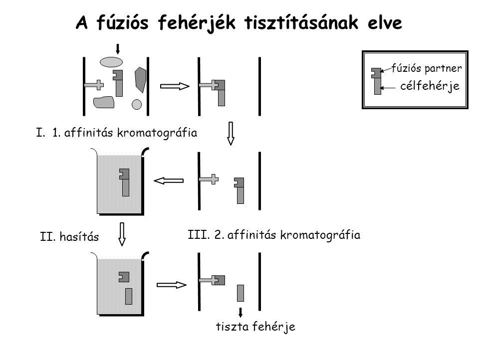 A fúziós fehérjék tisztításának elve I.1. affinitás kromatográfia II.
