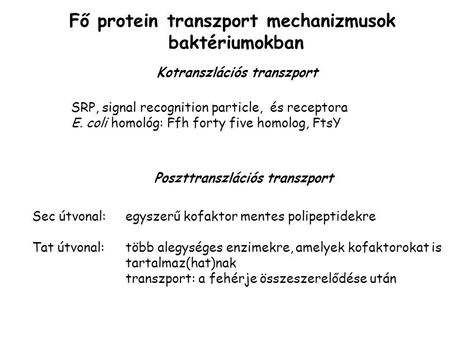 Fő protein transzport mechanizmusok baktériumokban Sec útvonal: egyszerű kofaktor mentes polipeptidekre Tat útvonal: több alegységes enzimekre, amelyek kofaktorokat is tartalmaz(hat)nak transzport: a fehérje összeszerelődése után SRP, signal recognition particle, és receptora E.
