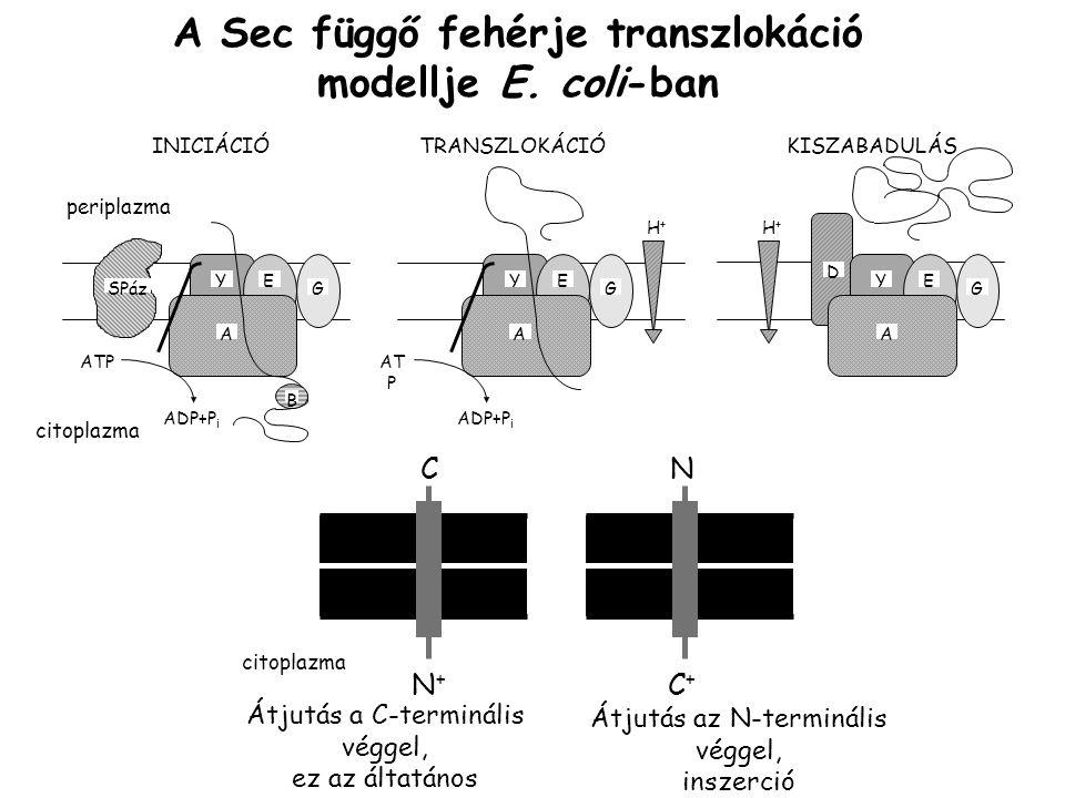 A Sec függő fehérje transzlokáció modellje E.