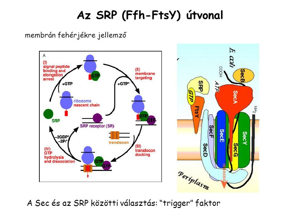 Az SRP (Ffh-FtsY) útvonal A Sec és az SRP közötti választás: trigger faktor membrán fehérjékre jellemző