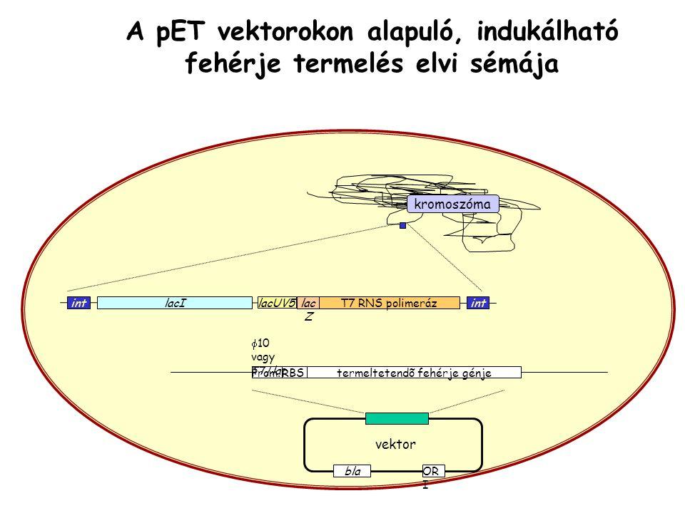 kromoszóma lacI lacUV5 lac Z T7 RNS polimerázint vektor Prom.RBS  10 vagy T7/lac termeltetendõ fehérje génje OR I bla A pET vektorokon alapuló, indukálható fehérje termelés elvi sémája