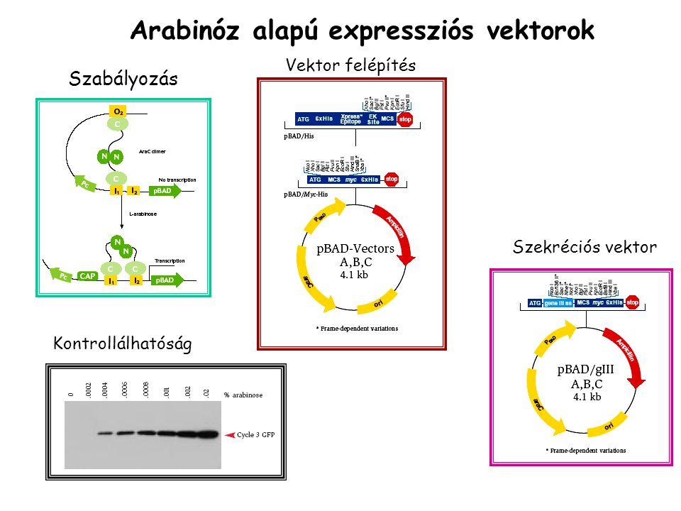 Szekréciós vektor Szabályozás Kontrollálhatóság Vektor felépítés Arabinóz alapú expressziós vektorok