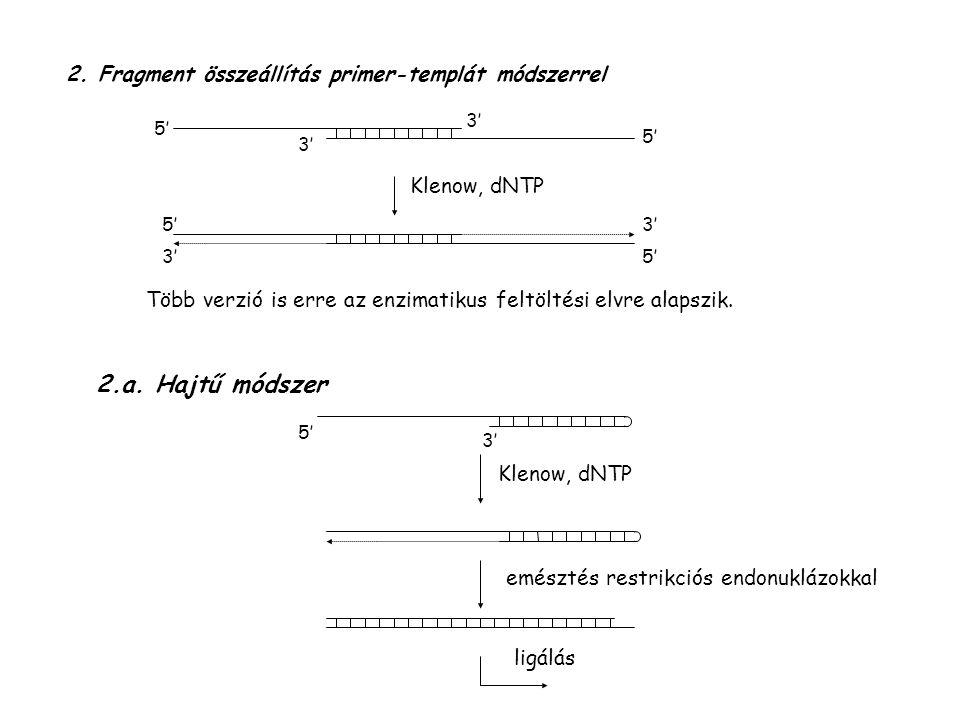 2. Fragment összeállítás primer-templát módszerrel 5' 3' Klenow, dNTP Több verzió is erre az enzimatikus feltöltési elvre alapszik. 2.a. Hajtű módszer
