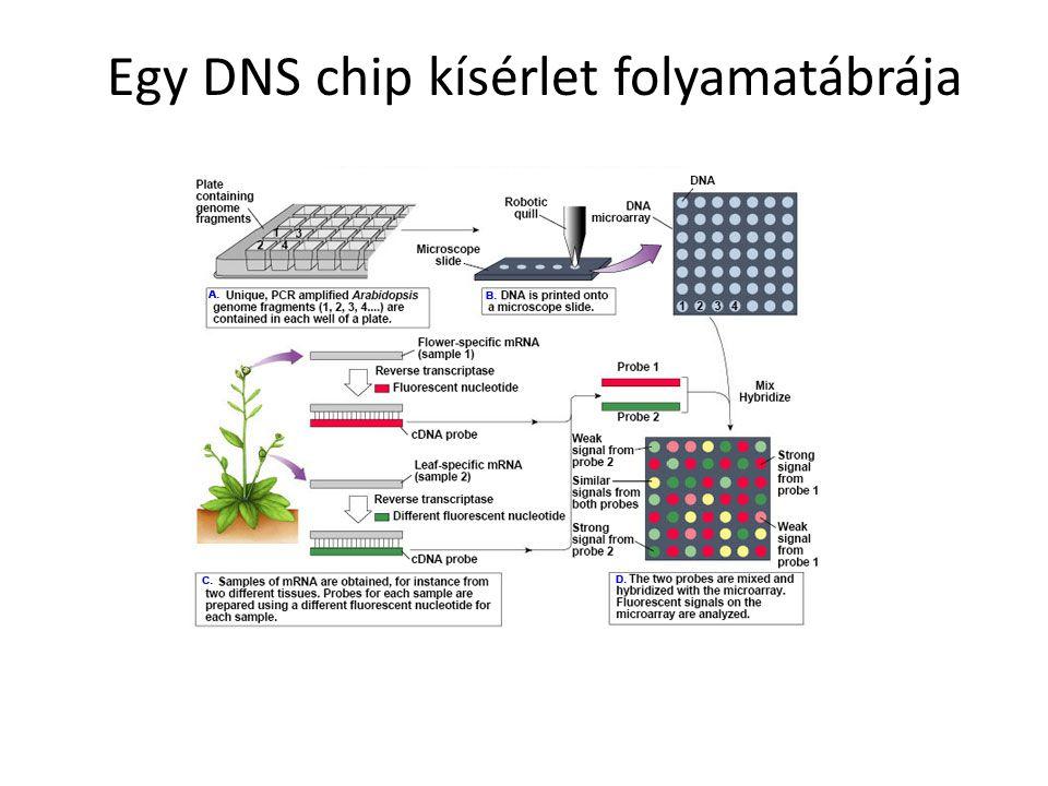 - Northern-blot és hibridizáció - reverz-transzkripció kapcsolt kvantitatív PCR - korrekt, de belső összehasonlító standardokat igényel A mRNS mennyiségének meghatározása