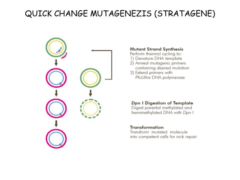 QUICK CHANGE MUTAGENEZIS (STRATAGENE)