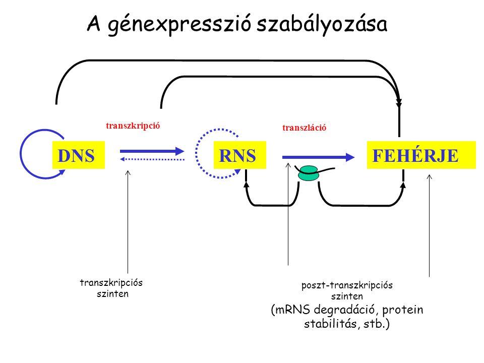 FEHÉRJERNS transzláció transzkripció DNS transzkripciós szinten poszt-transzkripciós szinten (mRNS degradáció, protein stabilitás, stb.) A génexpresszió szabályozása