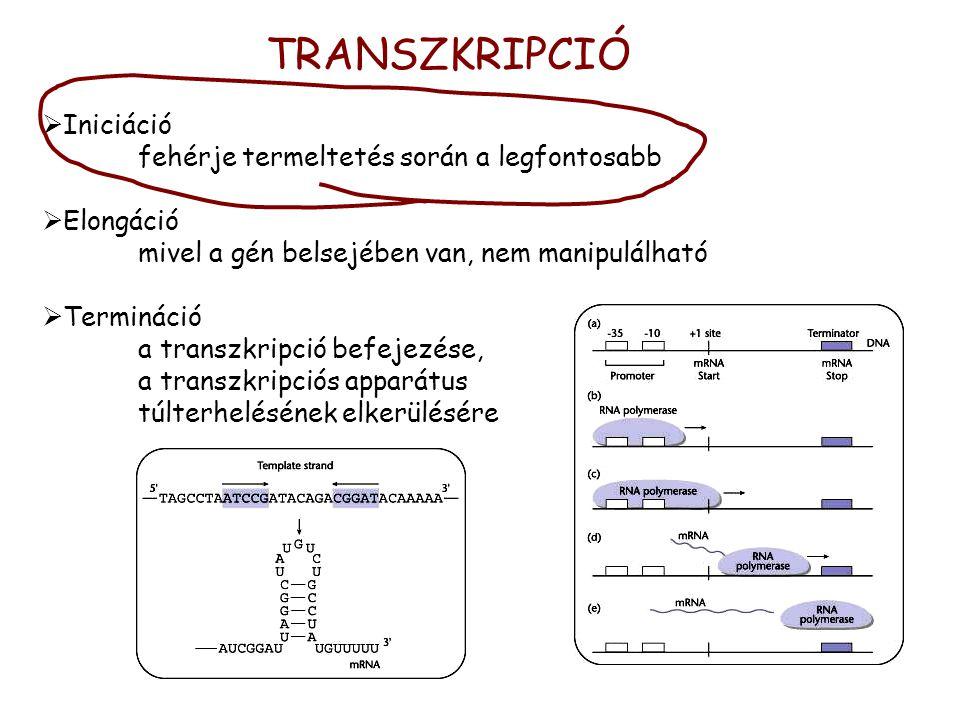 TRANSZKRIPCIÓ  Iniciáció fehérje termeltetés során a legfontosabb  Elongáció mivel a gén belsejében van, nem manipulálható  Termináció a transzkripció befejezése, a transzkripciós apparátus túlterhelésének elkerülésére