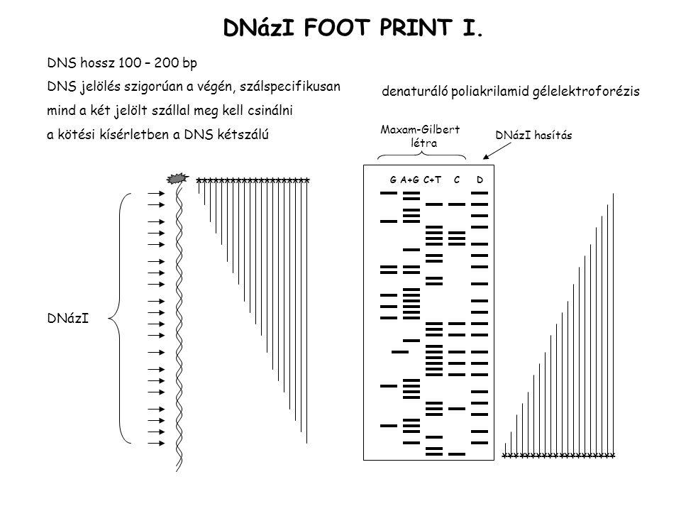 DNázI FOOT PRINT I.