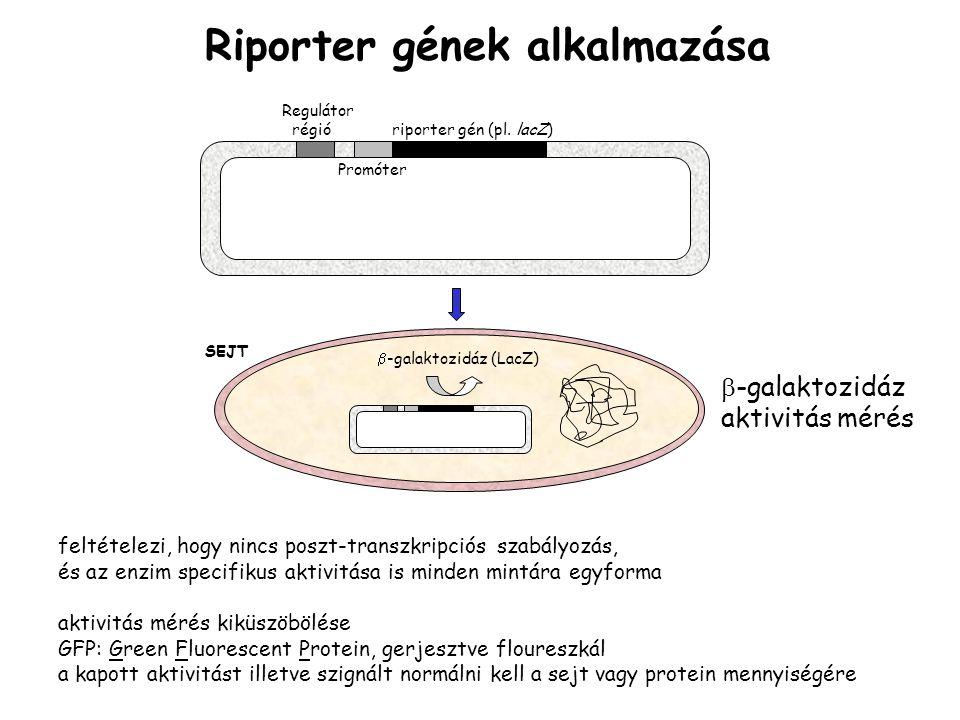 Regulátor régió riporter gén (pl.
