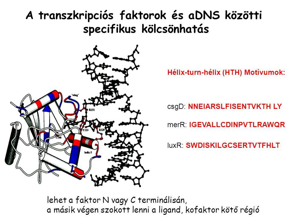A transzkripciós faktorok és aDNS közötti specifikus kölcsönhatás csgD: NNEIARSLFISENTVKTH LY merR: IGEVALLCDINPVTLRAWQR Hélix-turn-hélix (HTH) Motívumok: luxR: SWDISKILGCSERTVTFHLT lehet a faktor N vagy C terminálisán, a másik végen szokott lenni a ligand, kofaktor kötő régió