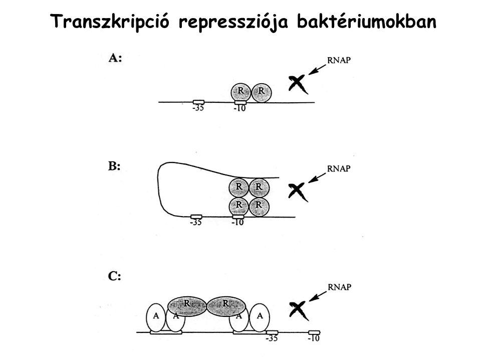 Transzkripció repressziója baktériumokban