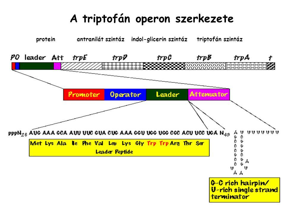 protein antranilát szintáz indol-glicerin szintáz triptofán szintáz A triptofán operon szerkezete