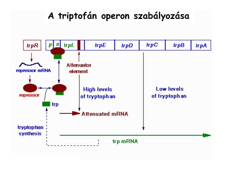 A triptofán operon szabályozása
