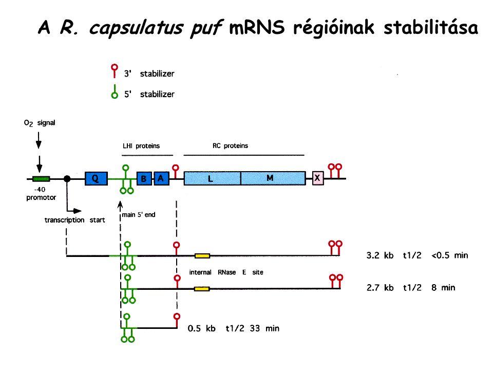 A R. capsulatus puf mRNS régióinak stabilitása