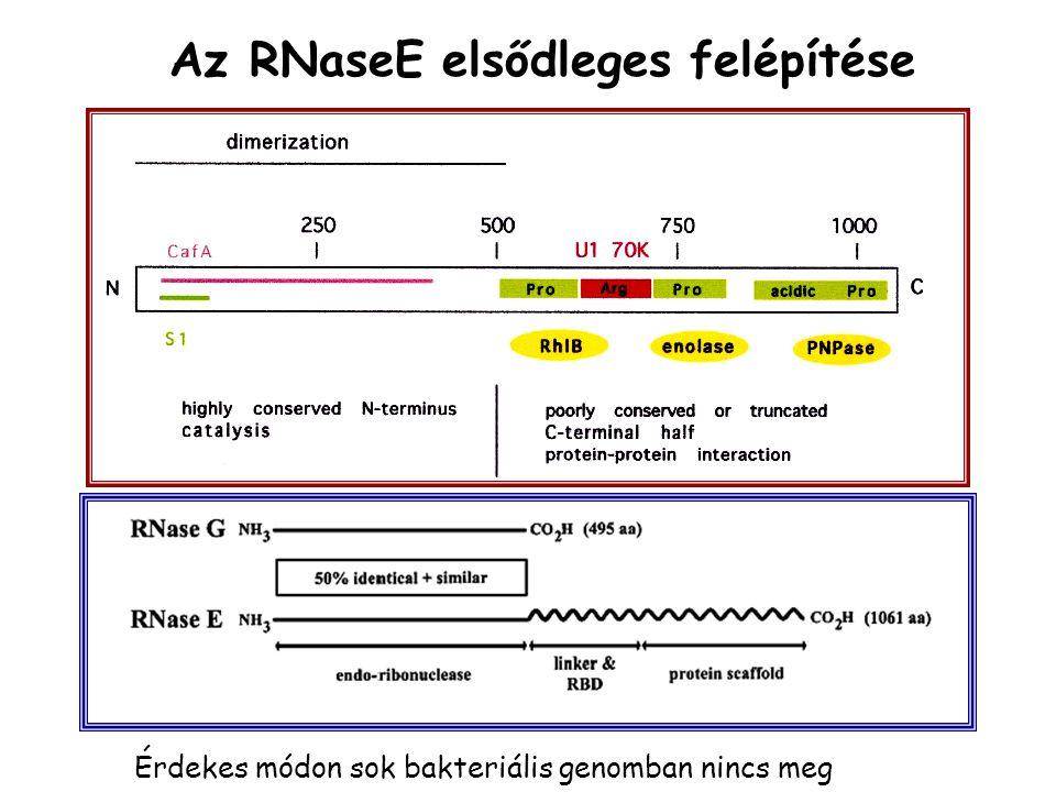 Az RNaseE elsődleges felépítése Érdekes módon sok bakteriális genomban nincs meg