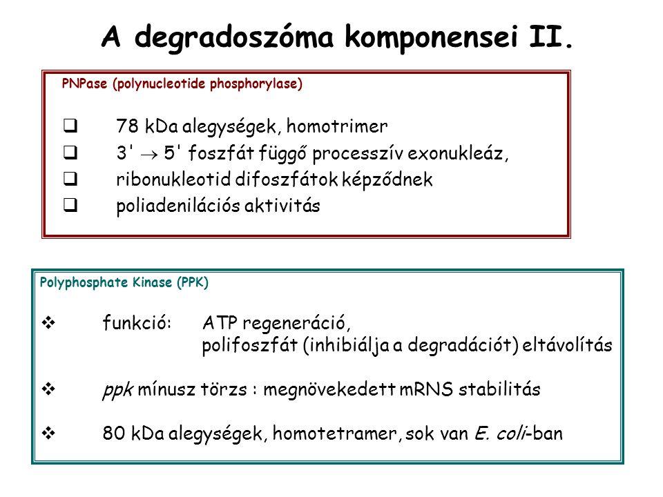 A degradoszóma komponensei II.
