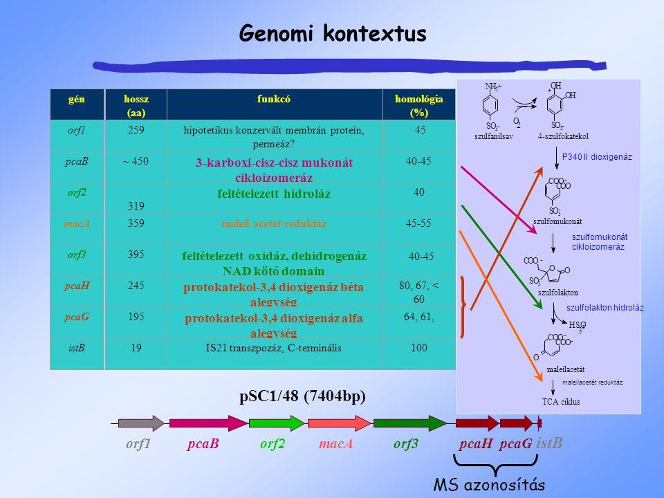 Genomi kontextus gén orf1 pcaB orf2 macA orf3 pcaH pcaG istB funkcó hipotetikus konzervált membrán protein, permeáz? 3-karboxi-cisz-cisz mukonát ciklo