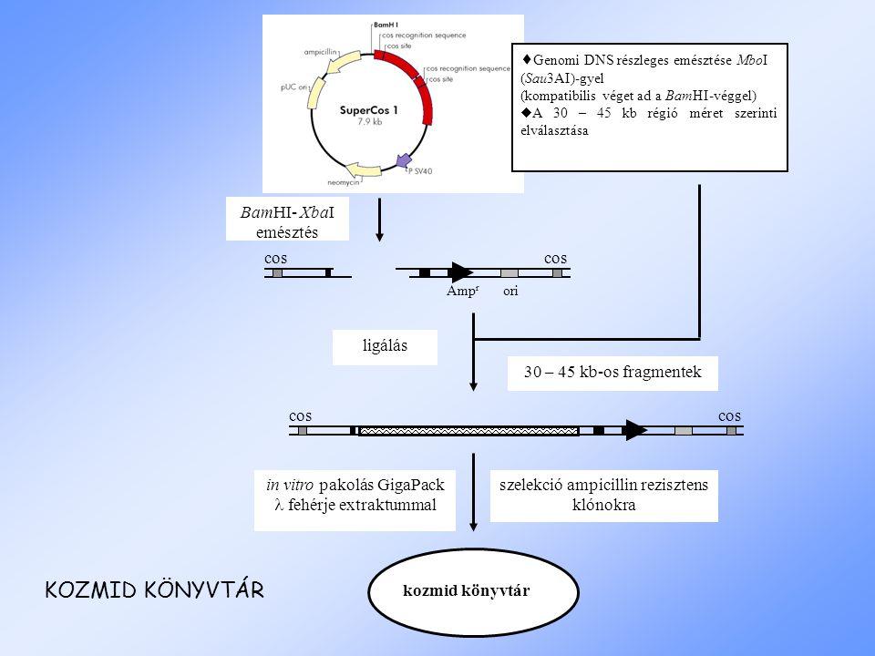  Genomi DNS részleges emésztése MboI (Sau3AI)-gyel (kompatibilis véget ad a BamHI-véggel)  A 30 – 45 kb régió méret szerinti elválasztása BamHI- XbaI emésztés Amp r ori cos ligálás 30 – 45 kb-os fragmentek cos in vitro pakolás GigaPack fehérje extraktummal szelekció ampicillin rezisztens klónokra kozmid könyvtár KOZMID KÖNYVTÁR
