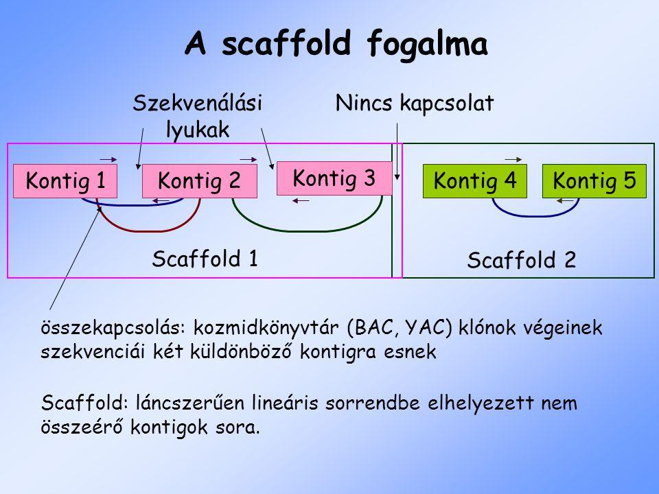 összekapcsolás: kozmidkönyvtár (BAC, YAC) klónok végeinek szekvenciái két küldönböző kontigra esnek Szekvenálási lyukak Nincs kapcsolat Scaffold 2 Scaffold 1 Kontig 4Kontig 5Kontig 1Kontig 2 Kontig 3 Scaffold: láncszerűen lineáris sorrendbe elhelyezett nem összeérő kontigok sora.