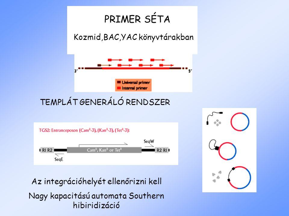 PRIMER SÉTA TEMPLÁT GENERÁLÓ RENDSZER Kozmid,BAC,YAC könyvtárakban Az integrációhelyét ellenőrizni kell Nagy kapacitású automata Southern hibiridizáció