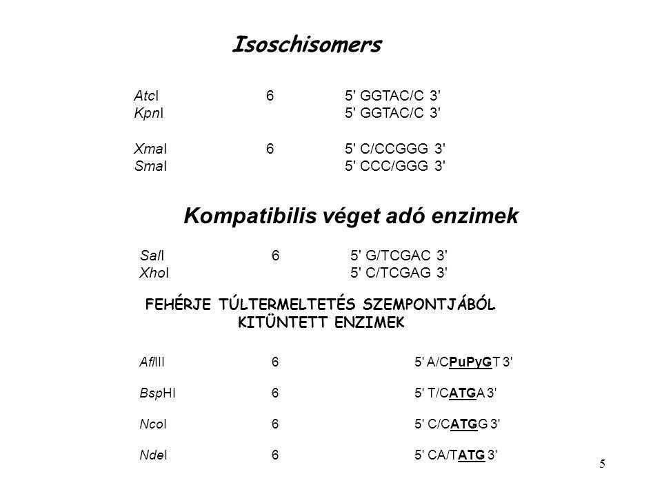 5 Isoschisomers AtcI6 5' GGTAC/C 3' KpnI 5' GGTAC/C 3' XmaI6 5' C/CCGGG 3' SmaI 5' CCC/GGG 3' Kompatibilis véget adó enzimek SalI6 5' G/TCGAC 3' XhoI