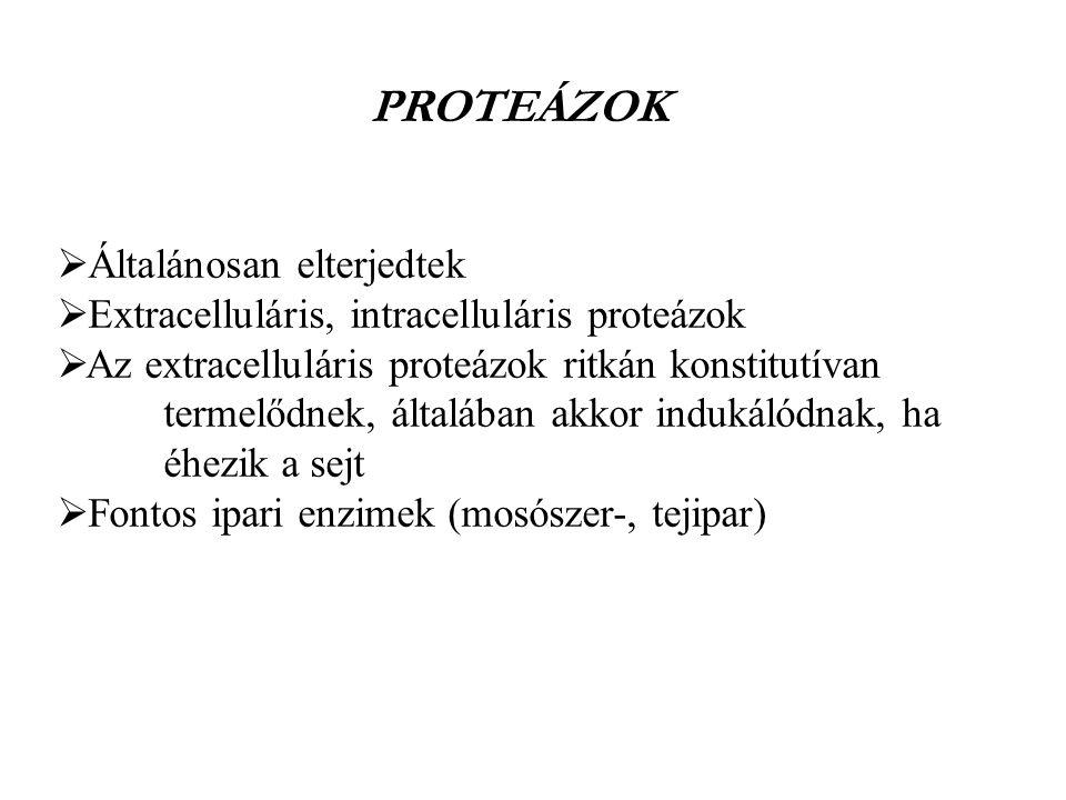  Általánosan elterjedtek  Extracelluláris, intracelluláris proteázok  Az extracelluláris proteázok ritkán konstitutívan termelődnek, általában akko