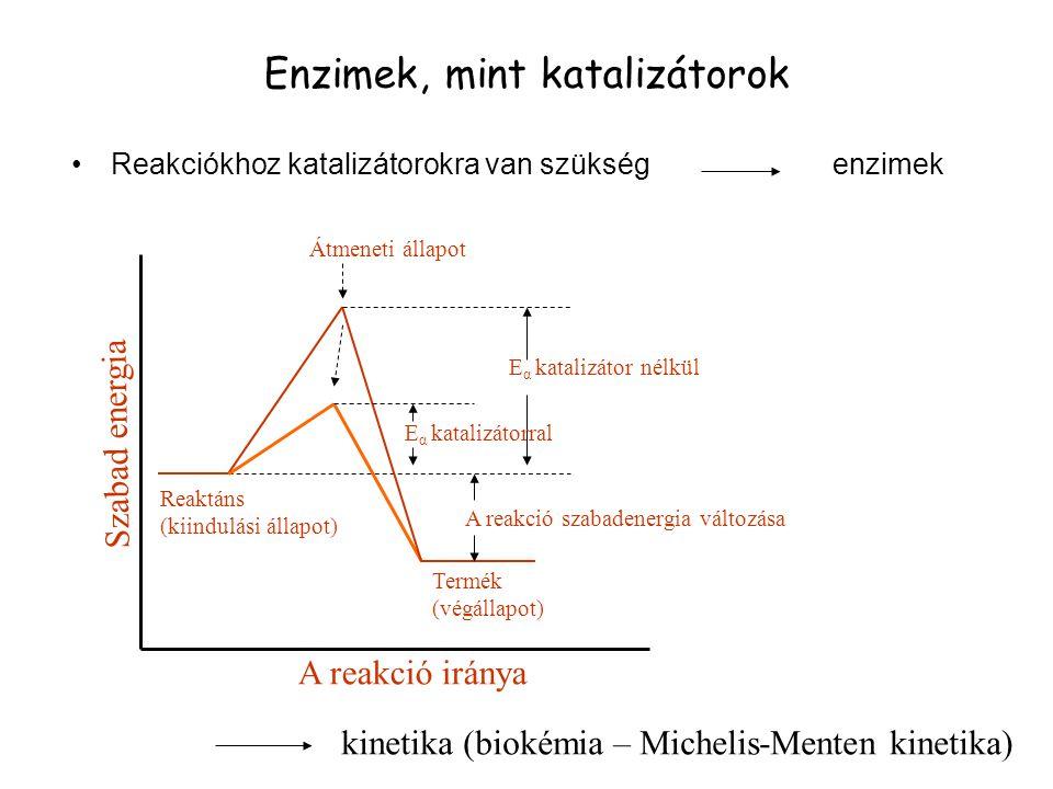 Enzimek, mint katalizátorok Reakciókhoz katalizátorokra van szükség enzimek Szabad energia Reaktáns (kiindulási állapot) Termék (végállapot) Átmeneti