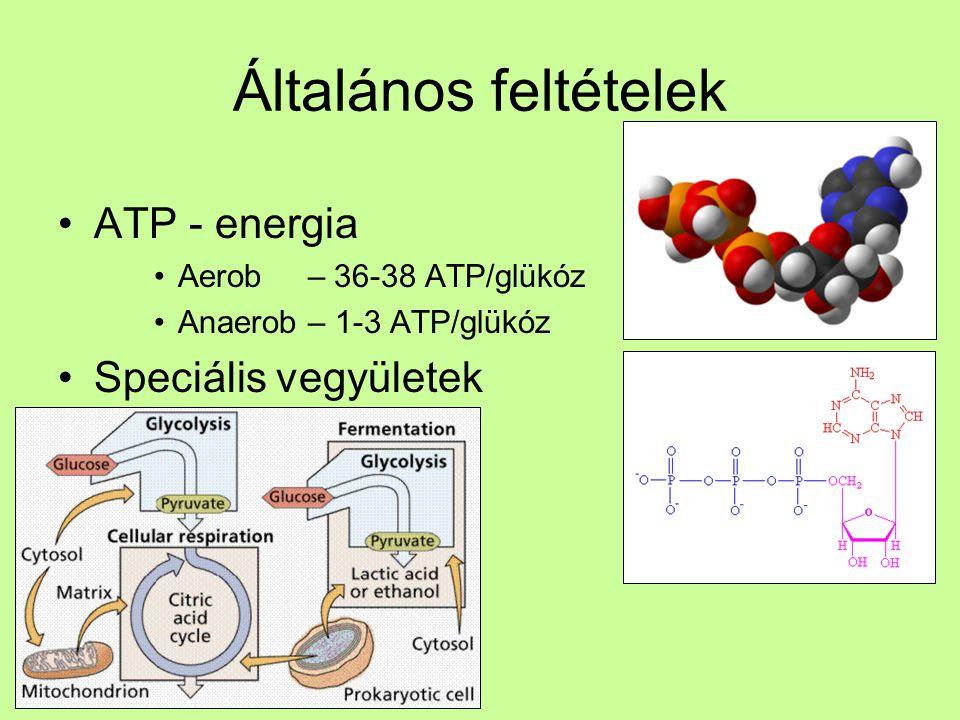 Általános feltételek ATP - energia Aerob – 36-38 ATP/glükóz Anaerob – 1-3 ATP/glükóz Speciális vegyületek