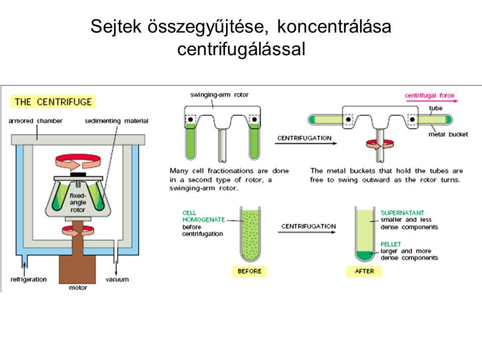 Sejtek összegyűjtése, koncentrálása centrifugálással