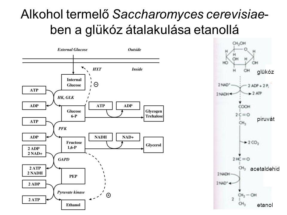 Alkohol termelő Saccharomyces cerevisiae- ben a glükóz átalakulása etanollá glükóz piruvát acetaldehid etanol