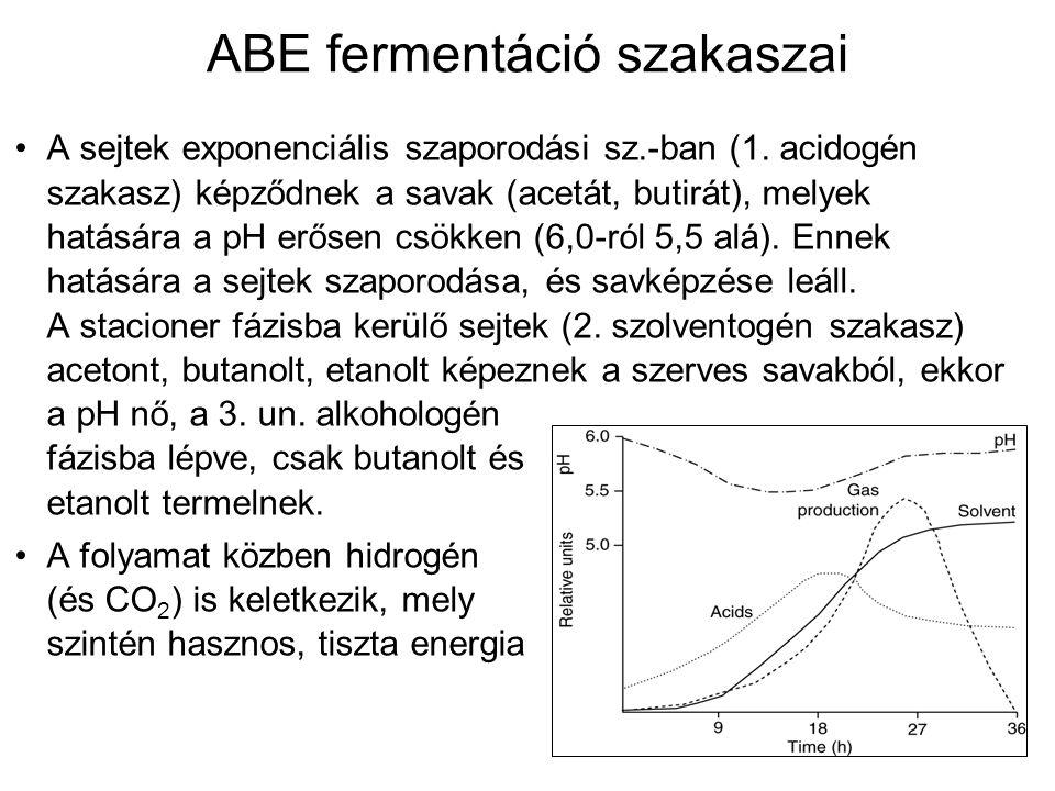 ABE fermentáció szakaszai A sejtek exponenciális szaporodási sz.-ban (1. acidogén szakasz) képződnek a savak (acetát, butirát), melyek hatására a pH e