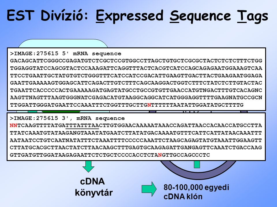 Bulk Divíziók Expressed Sequence Tag –1 st pass single read cDNA Genome Survey Sequence –1 st pass single read gDNA High Throughput Genomic –incomplet