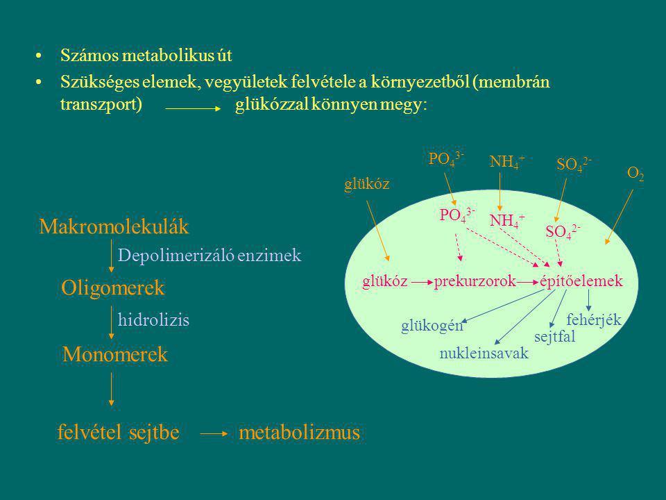 Számos metabolikus út Szükséges elemek, vegyületek felvétele a környezetből (membrán transzport)glükózzal könnyen megy: glükóz prekurzoroképítőelemek
