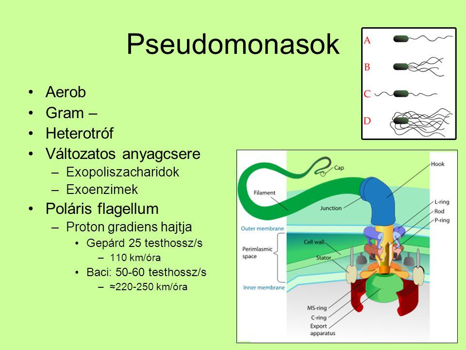Pseudomonasok Aerob Gram – Heterotróf Változatos anyagcsere –Exopoliszacharidok –Exoenzimek Poláris flagellum –Proton gradiens hajtja Gepárd 25 testho