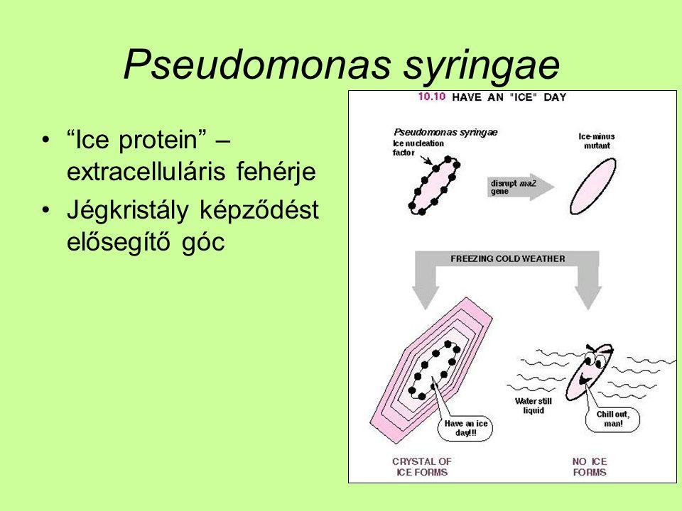 """Pseudomonas syringae """"Ice protein"""" – extracelluláris fehérje Jégkristály képződést elősegítő góc"""