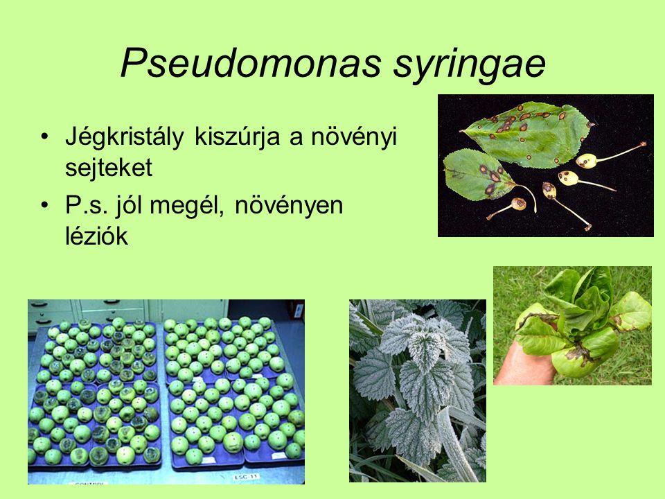 Pseudomonas syringae Jégkristály kiszúrja a növényi sejteket P.s. jól megél, növényen léziók