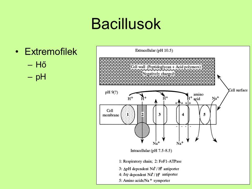 Bacillusok Extremofilek –Hő –pH