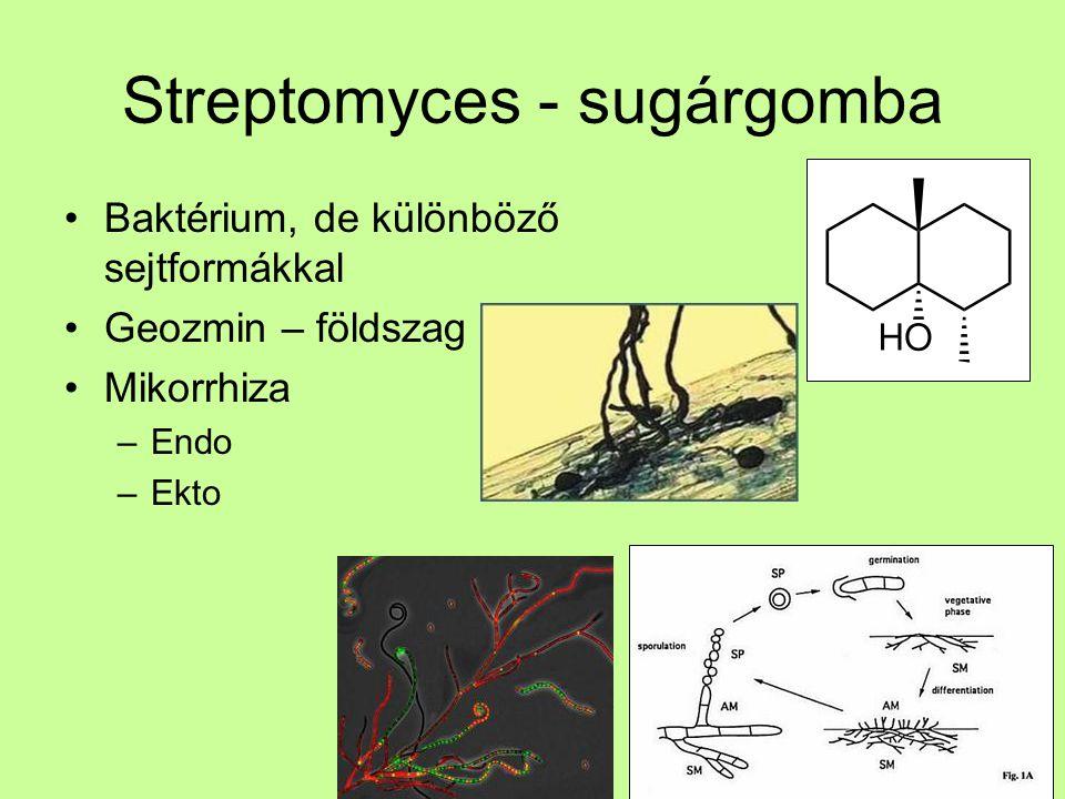 Streptomyces - sugárgomba Baktérium, de különböző sejtformákkal Geozmin – földszag Mikorrhiza –Endo –Ekto