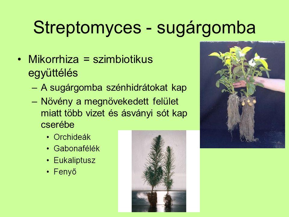 Streptomyces - sugárgomba Mikorrhiza = szimbiotikus együttélés –A sugárgomba szénhidrátokat kap –Növény a megnövekedett felület miatt több vizet és ás