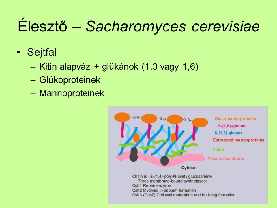 Élesztő – Sacharomyces cerevisiae Sejtfal –Kitin alapváz + glükánok (1,3 vagy 1,6) –Glükoproteinek –Mannoproteinek