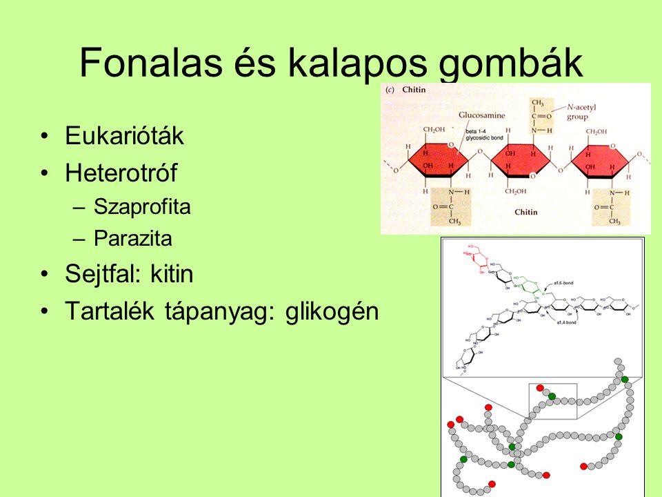Fonalas és kalapos gombák Eukarióták Heterotróf –Szaprofita –Parazita Sejtfal: kitin Tartalék tápanyag: glikogén