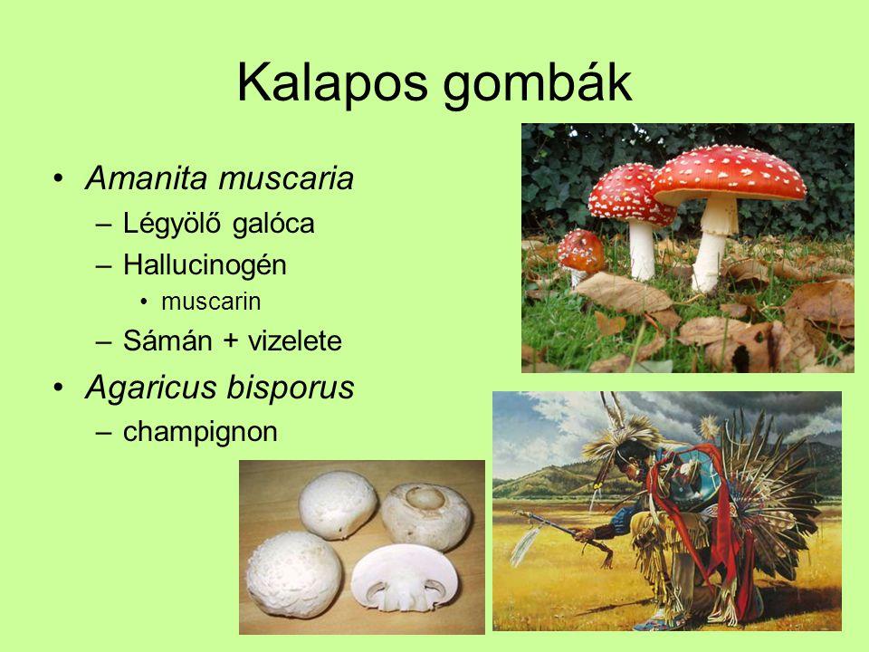 Kalapos gombák Amanita muscaria –Légyölő galóca –Hallucinogén muscarin –Sámán + vizelete Agaricus bisporus –champignon