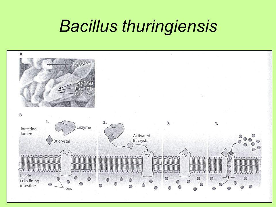 Penicillium chrysogenum Penicillin –β – laktám antibiotikum (Fleming et al.) –Gram + ellen Sejtfal épülést gátolja