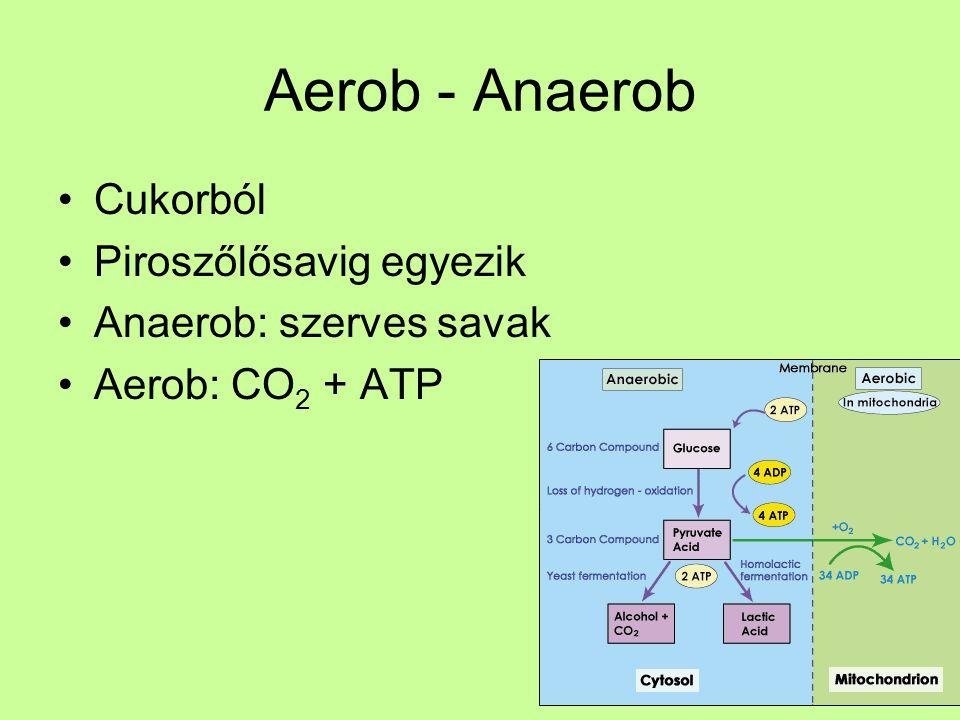Aerob - Anaerob Cukorból Piroszőlősavig egyezik Anaerob: szerves savak Aerob: CO 2 + ATP