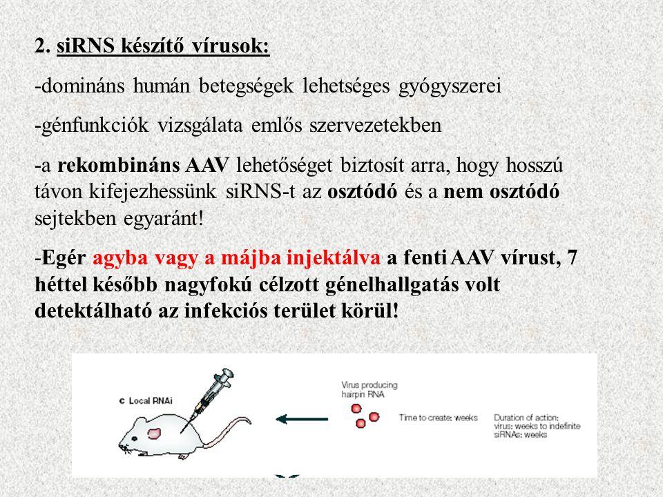 2. siRNS készítő vírusok: -domináns humán betegségek lehetséges gyógyszerei -génfunkciók vizsgálata emlős szervezetekben -a rekombináns AAV lehetősége