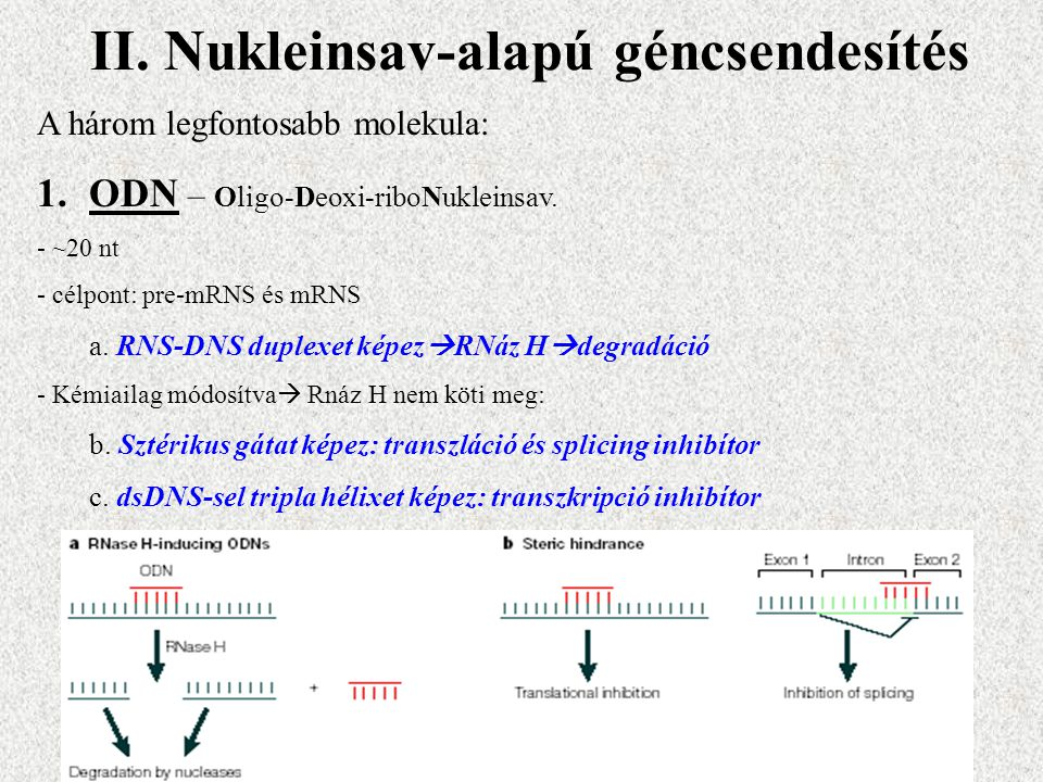 II. Nukleinsav-alapú géncsendesítés A három legfontosabb molekula: 1.ODN – Oligo-Deoxi-riboNukleinsav. - ~20 nt - célpont: pre-mRNS és mRNS a. RNS-DNS